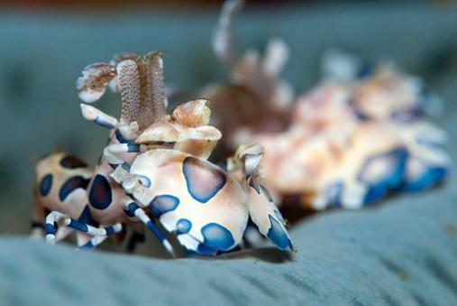 Andreas_Pluetzer_Harlequin-Shrimps