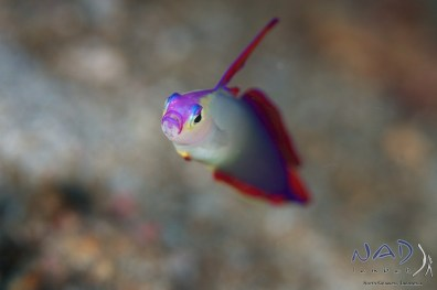 Purple Fire Goby