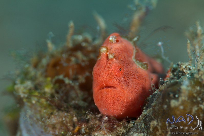 On this smaller Frogfish i the Sigma worked very well.