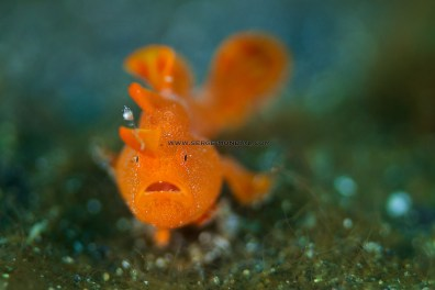 Baby Painted Frogfish