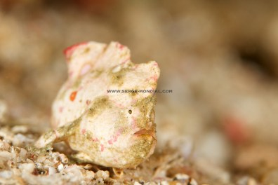 White Pink Randalls Frogfish –a new colour to me