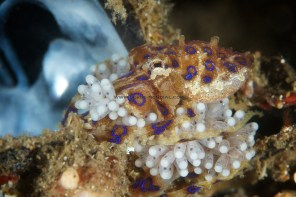 Blueringed Octopus with Eggs