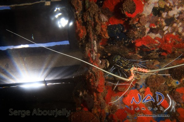 Lobster under NAD Lembeh Jetty
