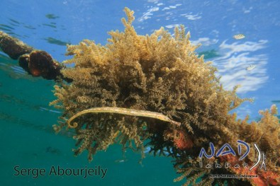 Double Ended Pipefish at NAD Lembeh Jetty
