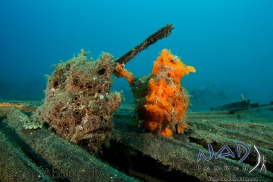 Pair of Frogfish / Lembeh Strait