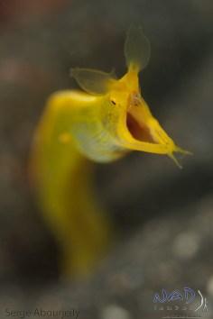 A Female Ribbon Eel