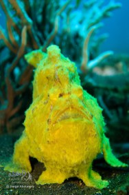Frogfish on a Muckdive
