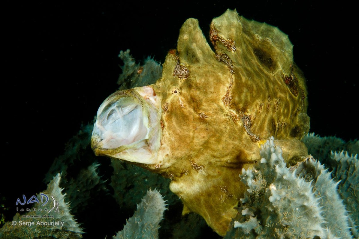 Giant Frogfish (Antennarius commersoni) in Lembeh Strait