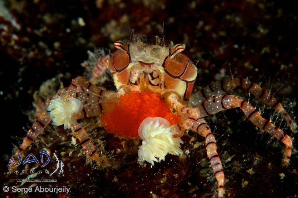Boxer Crab with eggs / Lembeh Strait