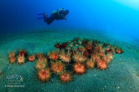 Sea Urchin group / Lembeh Strait