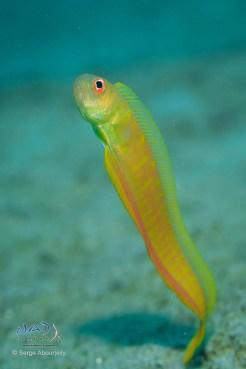 Bandfish hovering over its burrow