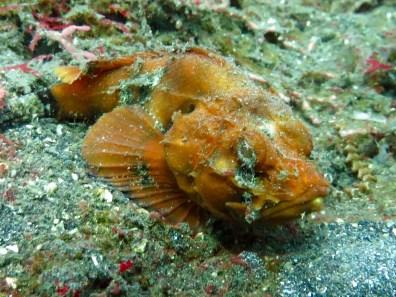 Guest Gallery Johan van Schaik Humpback Scorpionfish