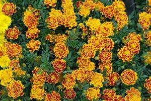 marigold_flower_spring
