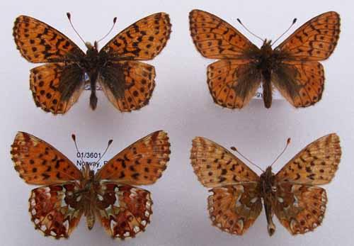 Boloria aquilonaris from Norway