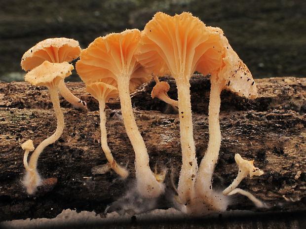 Haasiella venustissima, photo by Ivan Lietavec