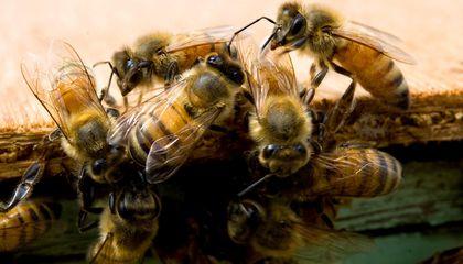 Honeybee venom compound shown to kill aggressive breast cancer cells – research