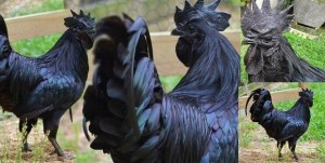 See The World's Most Expensive Chicken That Costs N900,000 (Photos)