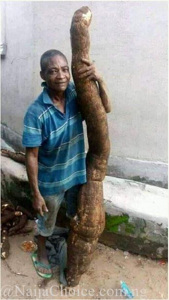 See Huge Cassava Harvested In Imo State, Taller Than The Owner (Photos)