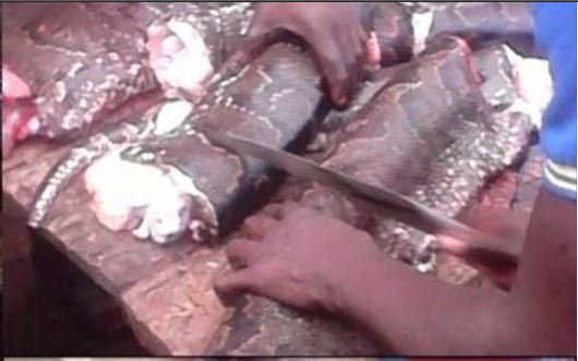 3 76 - Python That Swallowed An Antelope In Ondo State, Killed And Butchered By Residents (Photos & Video)