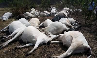 Again, Thunder Kills 8 Cows As Ondo Govt Arrests Herdsmen