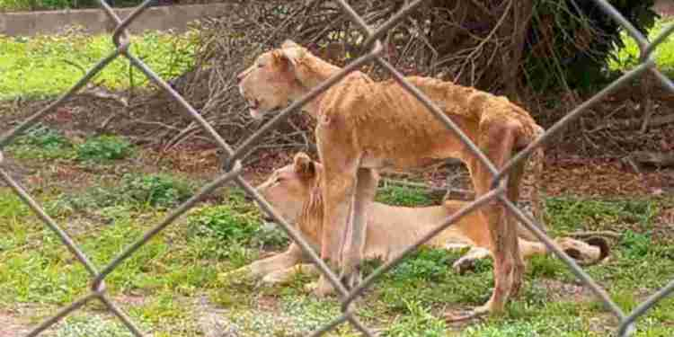 Another starving Lion discovered in OAU zoo after Kaduna - Naija News 247