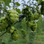 Working Hard Down On the Hop Farm