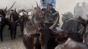 The Fulani herdsmen say they have less grazing land for their cattle