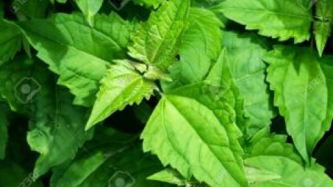 Benefits of Chromolaena Odorata Leaves (Acheampong leaves); Preserve Dead Body, Best cure of Foot root- Try it