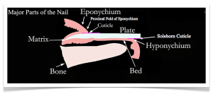 NAIL ANATOMY  Different Parts of the Fingernail