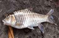 हिमालयी नदियों में पाई जाने वाली मछलियों की 41 प्रजातियां संकटग्रस्त, महाशीर भी हो जाएगी बिलुप्त