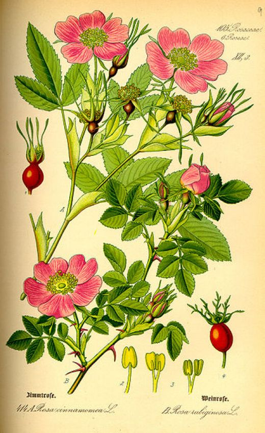 how to harvest and prepare rose hips