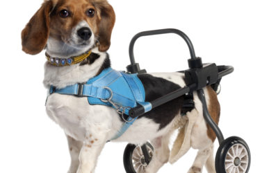 How Disabled Dogs Excel as Therapy Animals