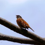 A Siberian meadow bunting tweets
