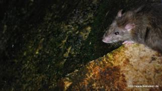 Ratte unter der Brücke