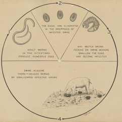 4 H Pig Diagram Car Stereo Wiring Pioneer Swine Gallery