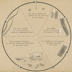 4 H Pig Diagram Evohome S Plan Plus Wiring Swine Gallery