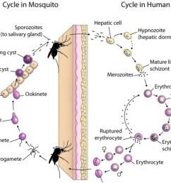 types of malaria [ 2215 x 1686 Pixel ]
