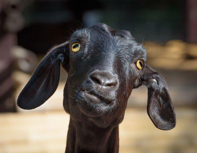 cross-eyed goat