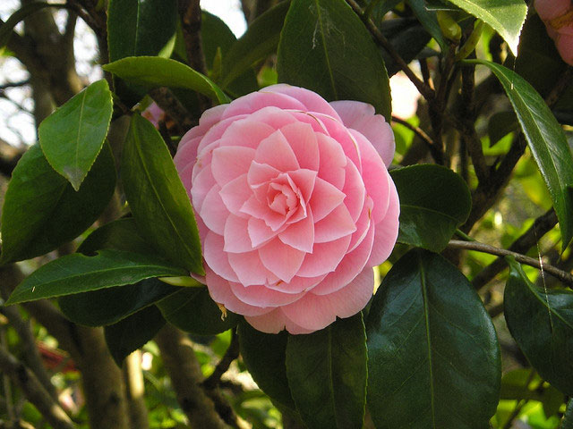 camellia plants and flowers