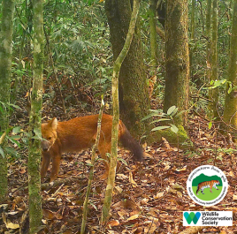 laos-wildlife-dhole-namet-2-sm