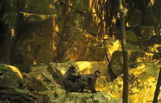 nepl-namet-wildlife-laos-langur