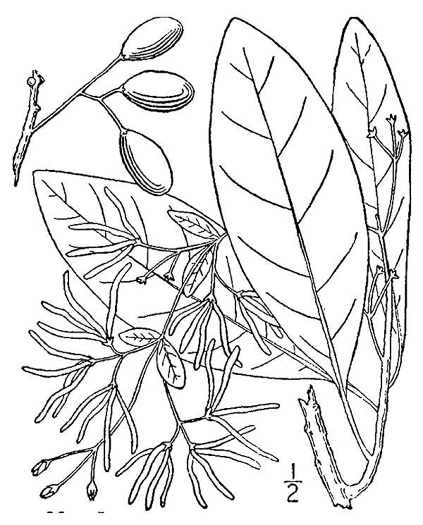 NameThatPlant.net: Chionanthus virginicus