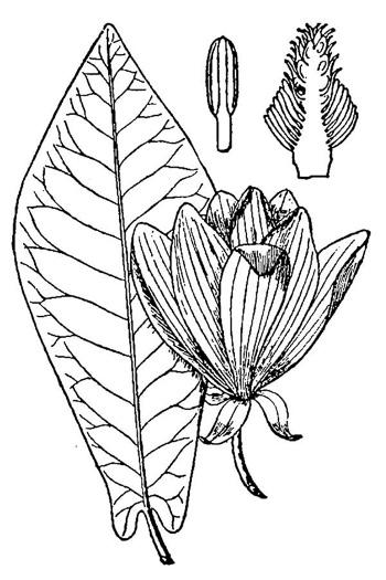 NameThatPlant.net: Magnolia fraseri
