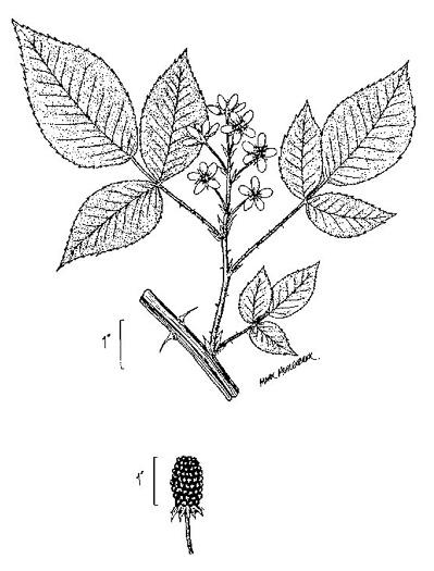 NameThatPlant.net: Rubus pensilvanicus