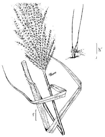 NameThatPlant.net: Erianthus giganteus