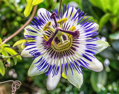 passiflora, passion flower,