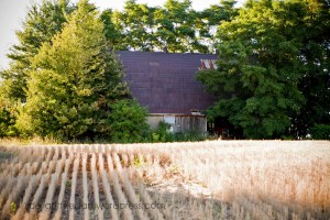 overgrown 1909 tobacco barn Ontario Duck farm