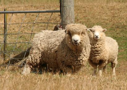 2_merino_sheep