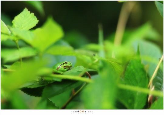De boomkikker, verborgen tussen het braamstruweel