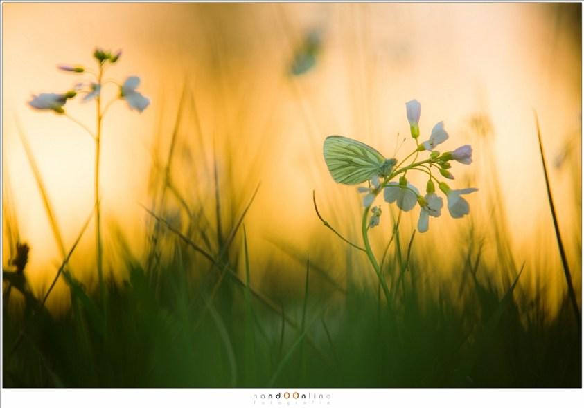 Een klein geaderd witje in het prachtige licht van de zonsondergang